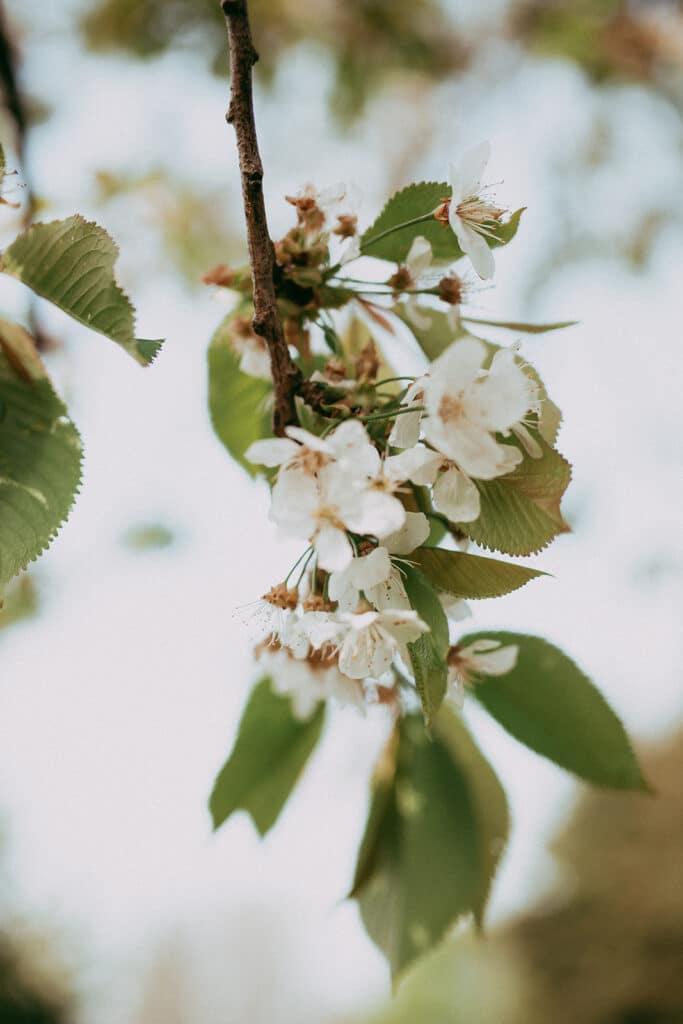 Kirschblüte draußen im Garten