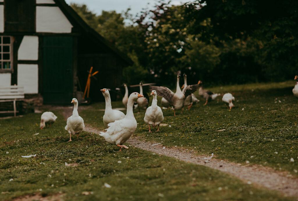 Gänse auf einem Bauernhof
